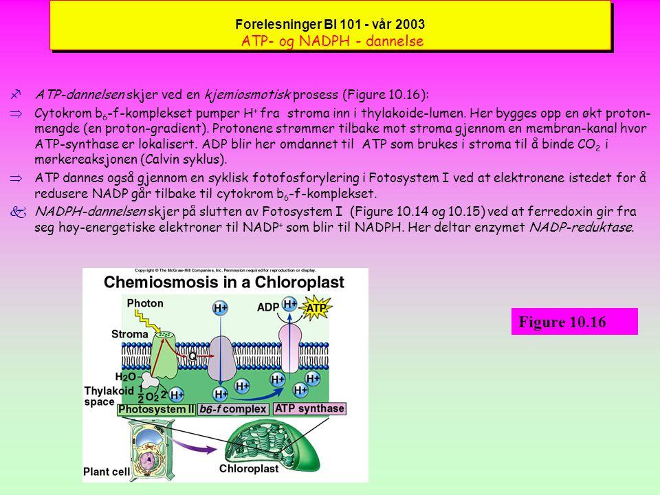 Forelesninger BI 101 - vår 2003 Hvordan de to fotosystemer virker sammen (forts.) fYtterligere detaljer om de to fotosystemer (Figure 10.15):  Veien fra Fotosystem II går over et quinon-molekyl i redusert form kalt plastoquinone (Q) som overfører til cytokrom b 6 -f-komplekset som er en proton-pumpe i thylakoide-membranen og som pumper H + inn i thylakoide-lumen (space).