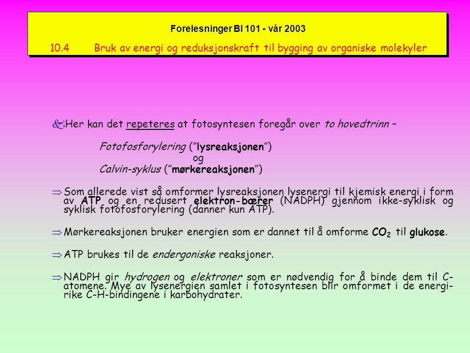 Forelesninger BI 101 - vår 2003 ATP- og NADPH - dannelse fATP-dannelsen skjer ved en kjemiosmotisk prosess (Figure 10.16):  Cytokrom b 6 -f-komplekset pumper H + fra stroma inn i thylakoide-lumen.