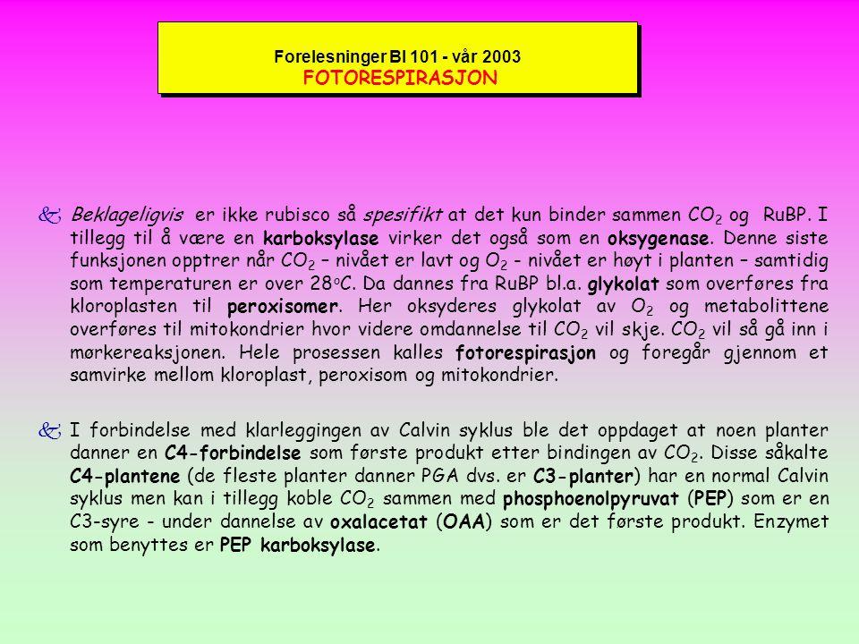 Forelesninger BI 101 - vår 2003 Reaksjoner i Calvin syklus kFor hver 3 molekyler CO 2 som går inn i Calvin syklus dannes i stroma ett molekyl glyceraldehyd-3-fosfat (G3P) som videre omdannes til fruktose-6-fosfat og glukose- 1-fosfat; videre til disakkaridet sukrose (vanlig bordsukker) som spaltes til fruktose + glukose.