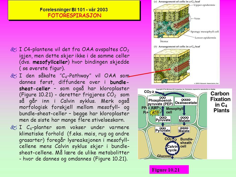 Forelesninger BI 101 - vår 2003 FOTORESPIRASJON kBeklageligvis er ikke rubisco så spesifikt at det kun binder sammen CO 2 og RuBP.