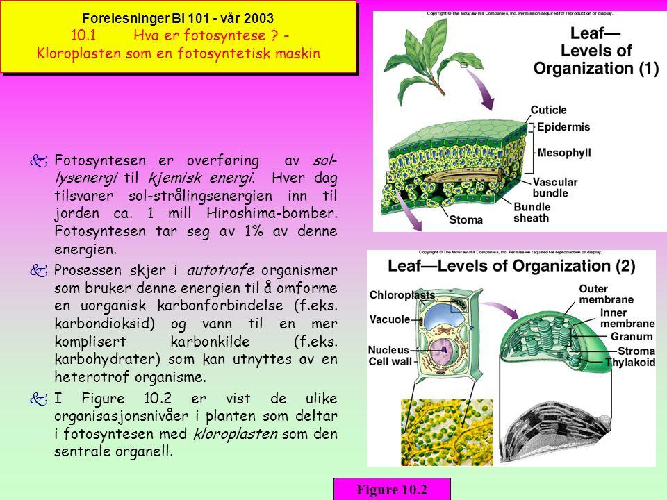 Forelesninger BI 101 - vår 2003 10.1 Hva er fotosyntese .
