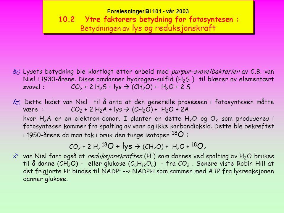 Forelesninger BI 101 - vår 2003 10.2 Ytre faktorers betydning for fotosyntesen : Betydningen av lys og reduksjonskraft kLysets betydning ble klartlagt etter arbeid med purpur-svovelbakterier av C.B.