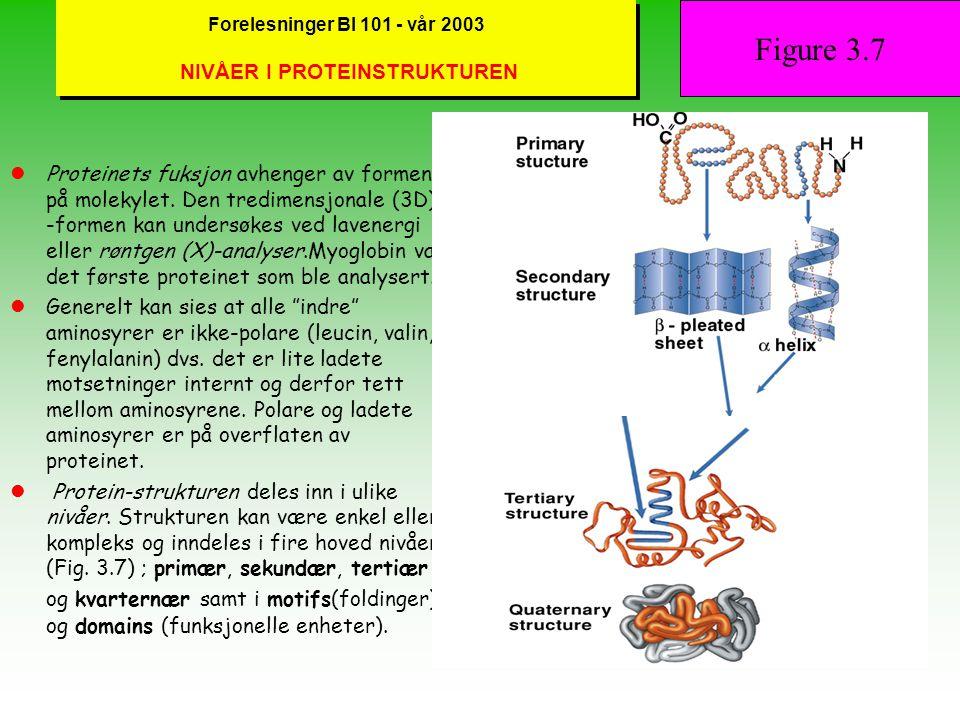 Forelesninger BI 101 - vår 2003 PEPTID-BINDING og POLYPEPTIDER Proteiner er polymere av aminosyrer og gjennom en kondensasjonsreaksjon bindes to aminosyrer sammen ved dannelsen av en peptid-binding (se også Fig.