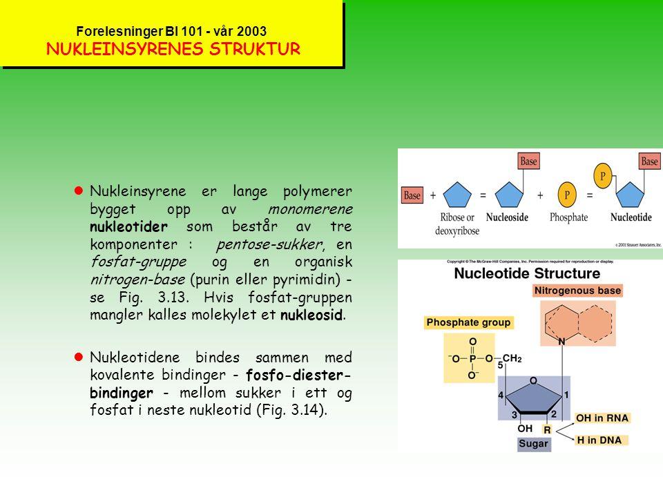 Forelesninger BI 101 - vår 2003 NUKLEINSYRER - INFORMASJONSMOLEKYLER lNukleinsyrer er molekyler som lagrer, overfører og bruker informasjon. To typer
