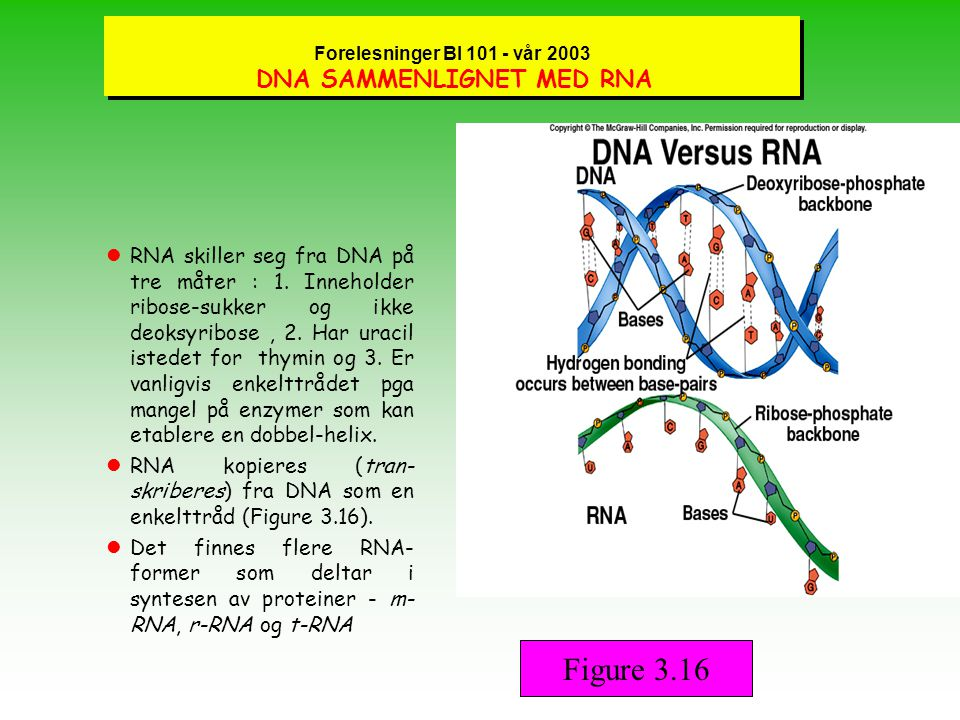 Forelesninger BI 101 - vår 2003 MER OM DNA lOrganismer koder gjennom strukturen av DNA for hvordan proteiner skal bygges opp.