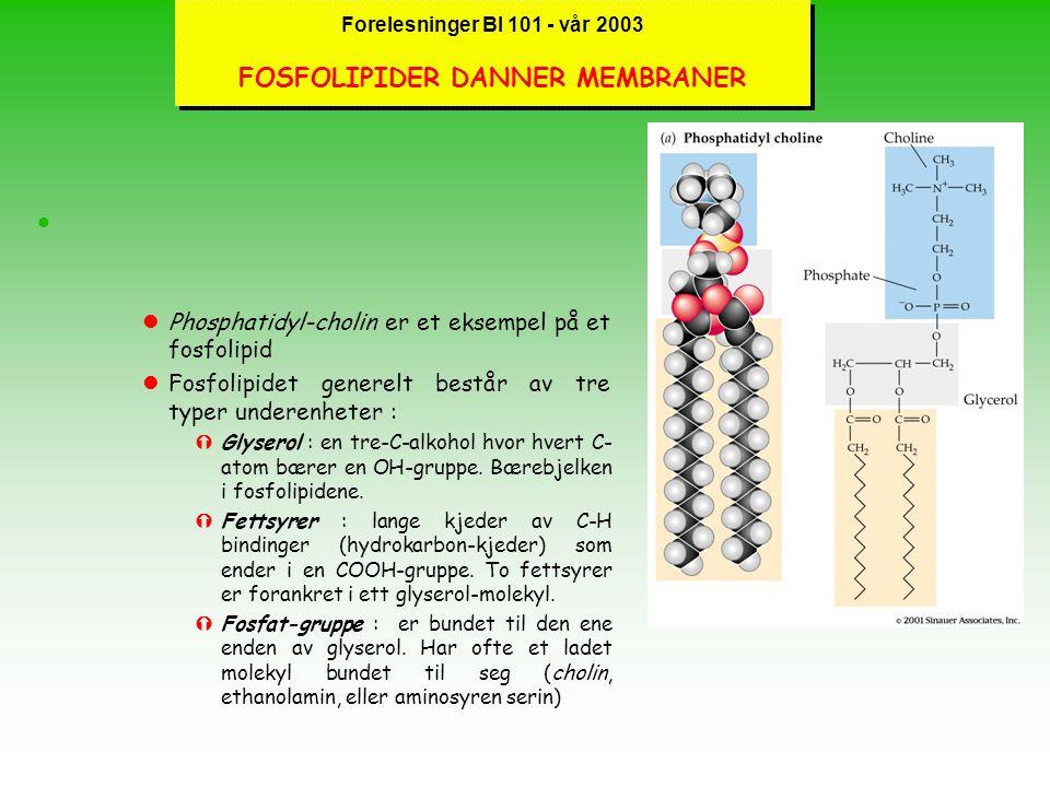 """Forelesninger BI 101 - vår 2003 FOSFOLIPIDER DANNER MEMBRANER l lFosfolipider er kjernen i biologiske membraner, har ett polart """"hode"""" og to lange upo"""