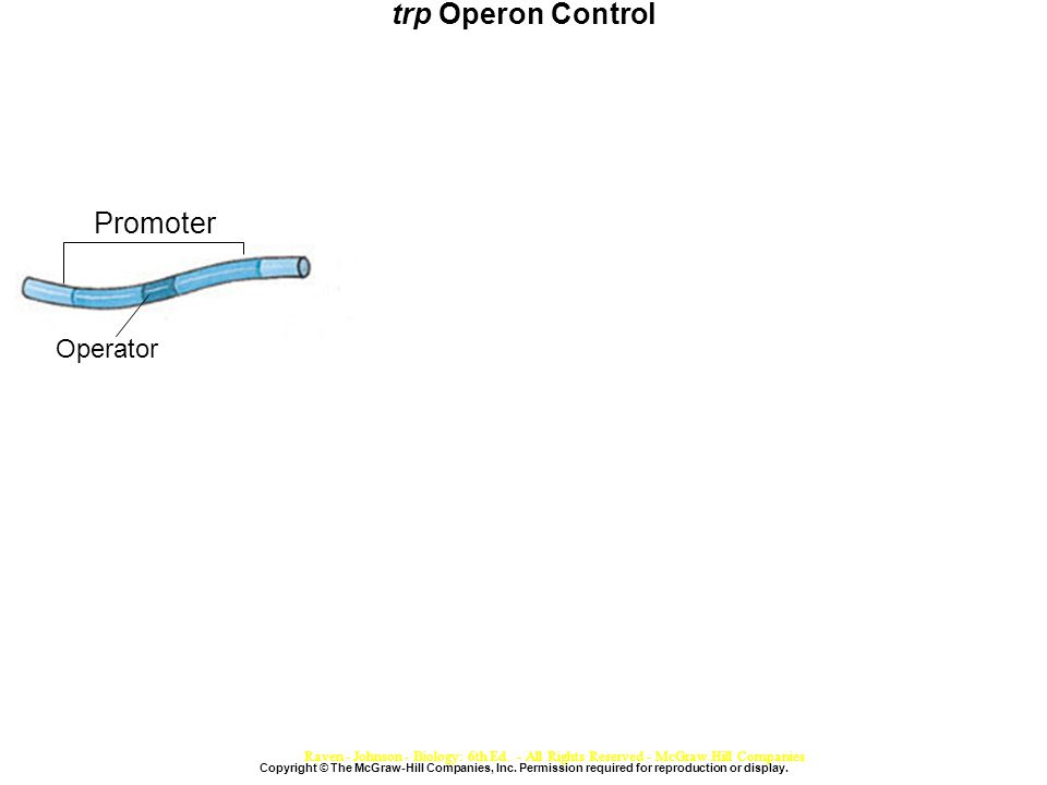 trp Operon Control Copyright © The McGraw-Hill Companies, Inc.