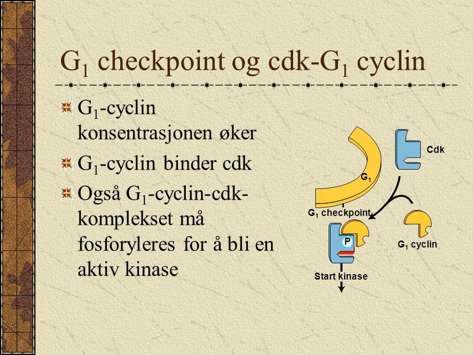 G 1 checkpoint og cdk-G 1 cyclin G 1 -cyclin konsentrasjonen øker G 1 -cyclin binder cdk Også G 1 -cyclin-cdk- komplekset må fosforyleres for å bli en