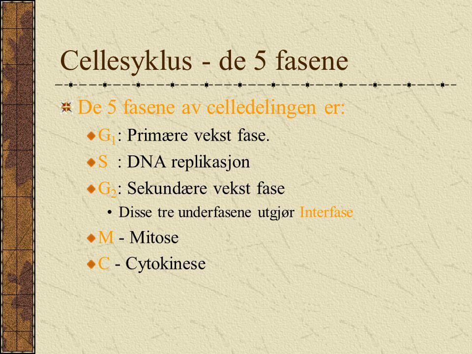 Cellesyklus - de 5 fasene De 5 fasene av celledelingen er: G 1 : Primære vekst fase. S : DNA replikasjon G 2 : Sekundære vekst fase Disse tre underfas