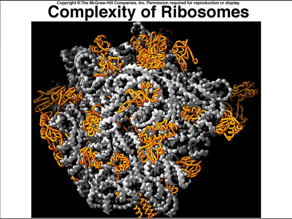 Transkripsjon Promoter  Transkripsjonen starter ved RNA polymerase binder cription starts at RNA polymerase bindingssteder kalt promoter på DNA templattråden.