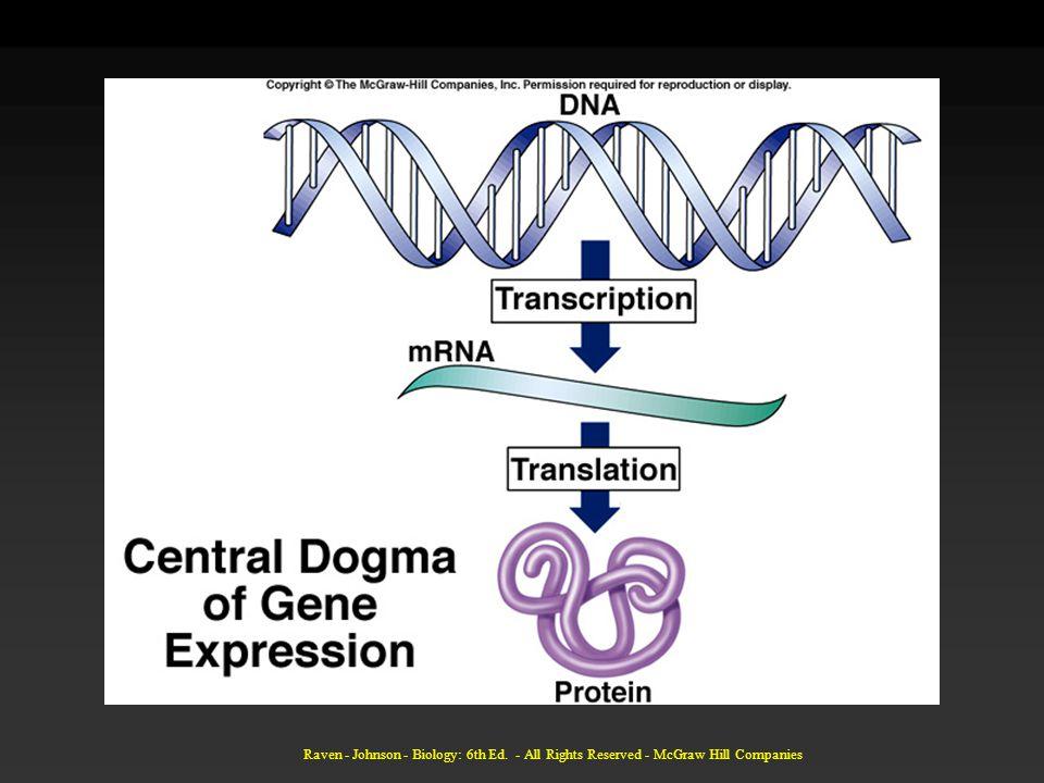 Translasjon Starter når initiell del av mRNA molekylet binder til rRNA i et ribosom.