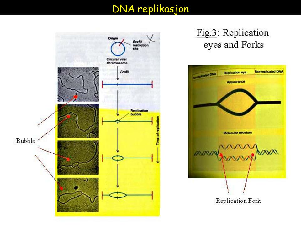 Raven - Johnson - Biology: 6th Ed. - All Rights Reserved - McGraw Hill Companies DNA replikasjon