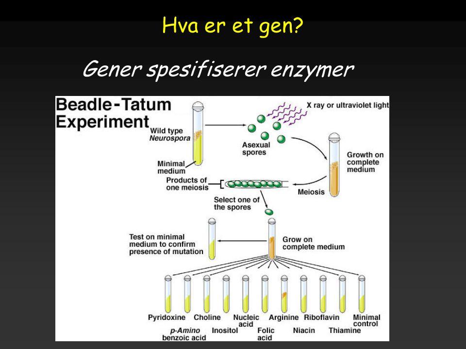 Raven - Johnson - Biology: 6th Ed. - All Rights Reserved - McGraw Hill Companies Hva er et gen? Gener spesifiserer enzymer