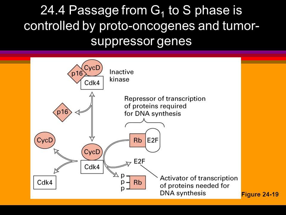 Onkogener: Cyclin D1 l overuttrykk av cyclin D1 enten som genamplifikasjon eller kromosomal translokasjon fører til cellesyklus progresjon uavhengig av extracellulære stimuli l observeres i forskjellige kreftformer, bl.a.