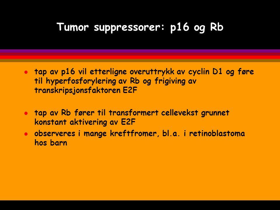Tumor suppressorer: p16 og Rb l tap av p16 vil etterligne overuttrykk av cyclin D1 og føre til hyperfosforylering av Rb og frigiving av transkripsjons