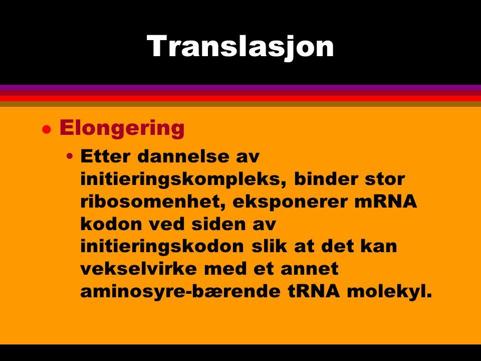 Translasjon l Translokering Ribosomet beveger nukleotider langs mRNA molekylet.