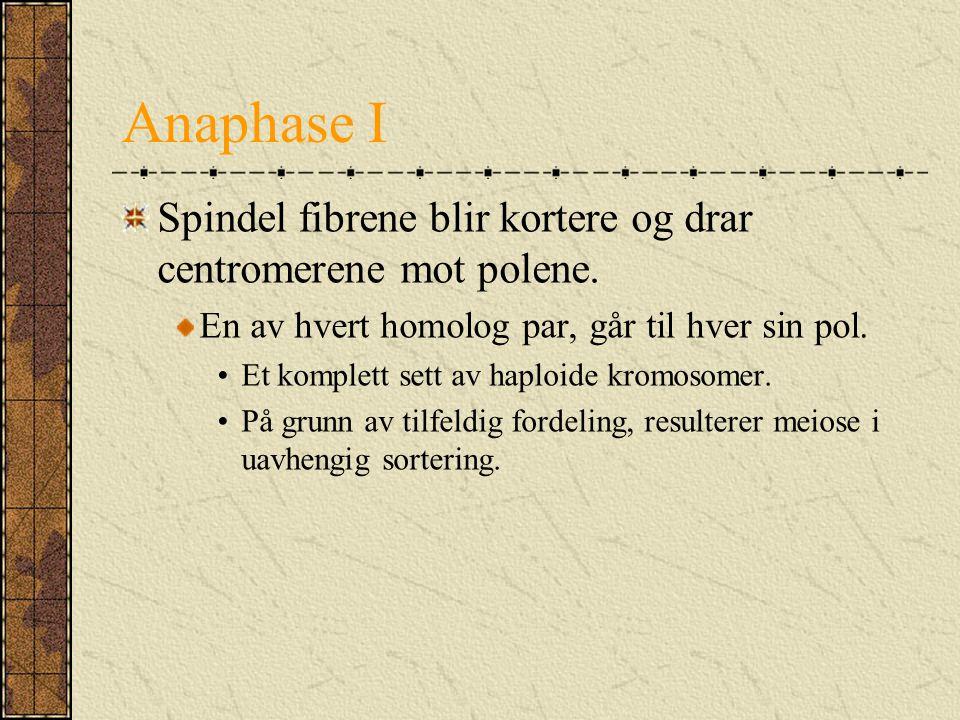 Anaphase I Spindel fibrene blir kortere og drar centromerene mot polene. En av hvert homolog par, går til hver sin pol. Et komplett sett av haploide k