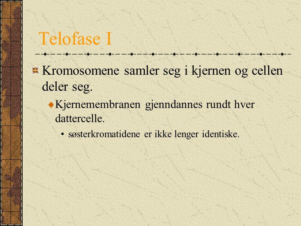 Telofase I Kromosomene samler seg i kjernen og cellen deler seg. Kjernemembranen gjenndannes rundt hver dattercelle. søsterkromatidene er ikke lenger