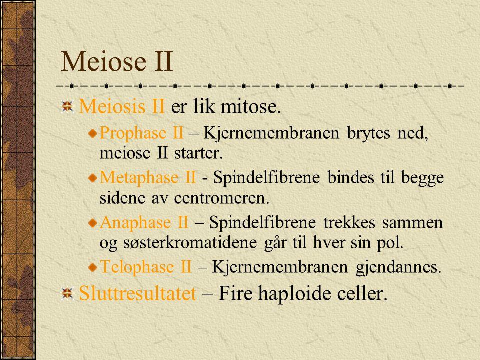 Meiose II Meiosis II er lik mitose. Prophase II – Kjernemembranen brytes ned, meiose II starter. Metaphase II - Spindelfibrene bindes til begge sidene