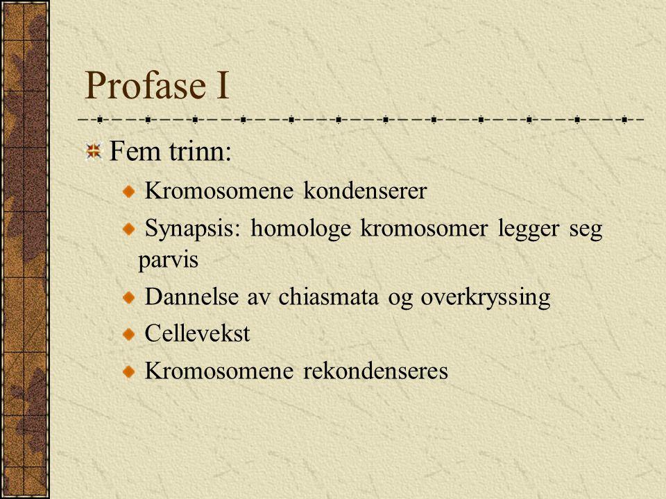 Profase I Fem trinn: Kromosomene kondenserer Synapsis: homologe kromosomer legger seg parvis Dannelse av chiasmata og overkryssing Cellevekst Kromosom