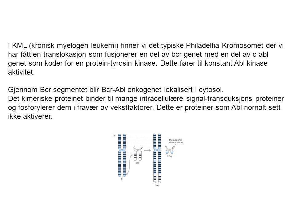 I KML (kronisk myelogen leukemi) finner vi det typiske Philadelfia Kromosomet der vi har fått en translokasjon som fusjonerer en del av bcr genet med
