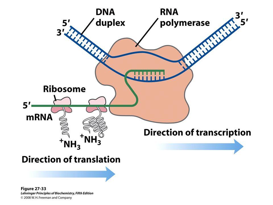 De viktigste punktene i proteinsyntesen i bakterier: Den første aminosyra er alltid formylmetionin, uavhengig av hva startkodonet (nesten alltid AUG eller GUG) er.