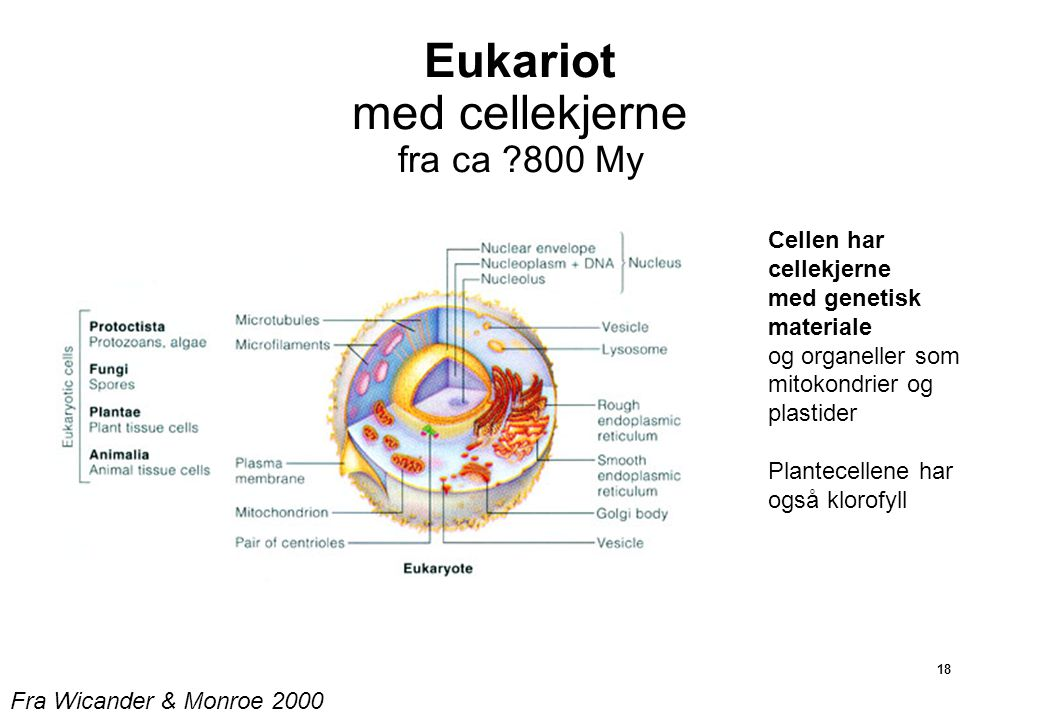 18 Eukariot med cellekjerne fra ca ?800 My Cellen har cellekjerne med genetisk materiale og organeller som mitokondrier og plastider Plantecellene har også klorofyll Fra Wicander & Monroe 2000