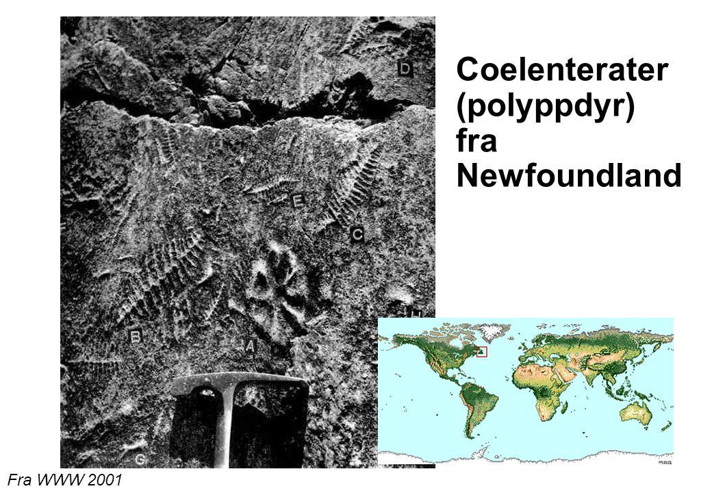 27 Coelenterater (polyppdyr) fra Newfoundland Fra WWW 2001
