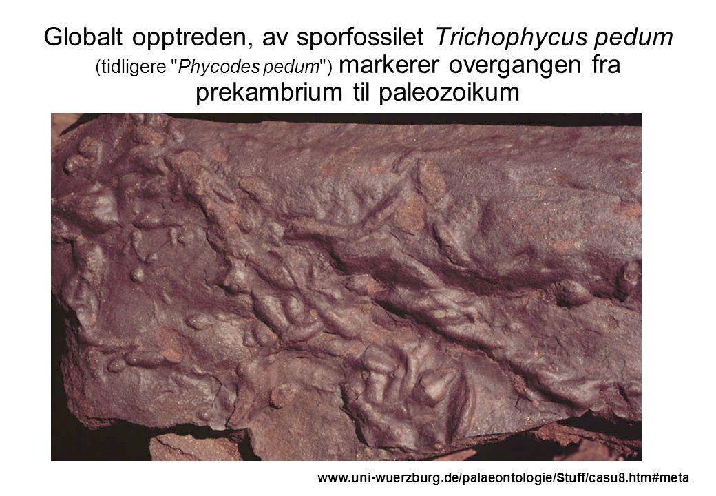 Globalt opptreden, av sporfossilet Trichophycus pedum (tidligere