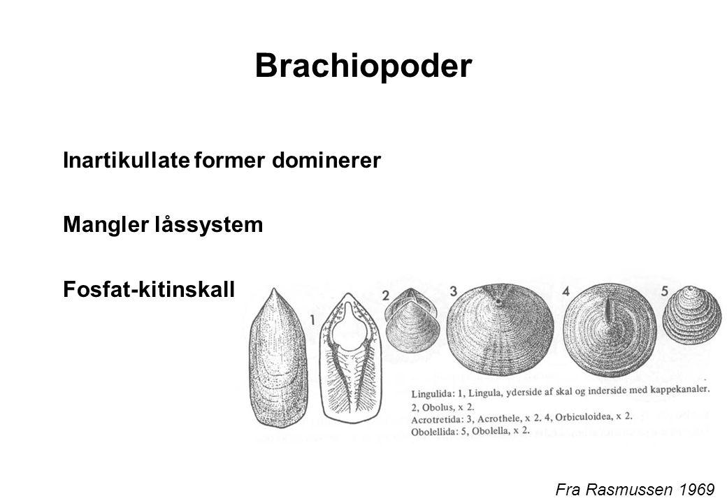 Brachiopoder Inartikullate former dominerer Mangler låssystem Fosfat-kitinskall Fra Rasmussen 1969
