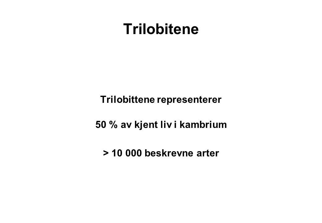 Trilobitene Trilobittene representerer 50 % av kjent liv i kambrium > 10 000 beskrevne arter