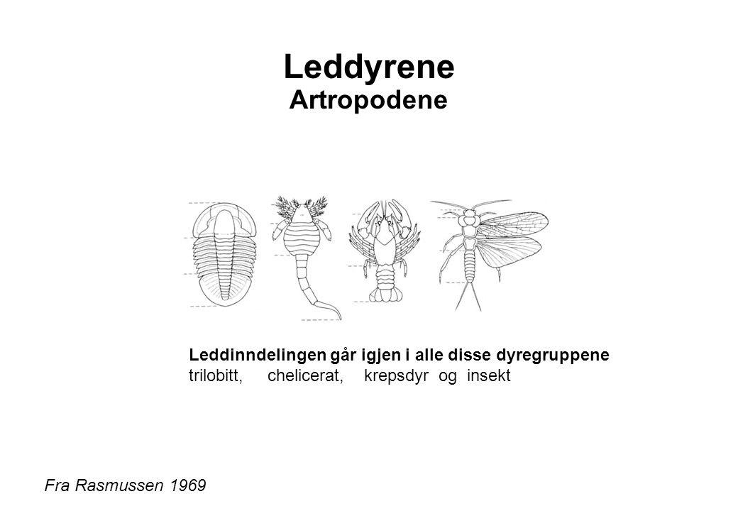 Leddyrene Artropodene Fra Rasmussen 1969 Leddinndelingen går igjen i alle disse dyregruppene trilobitt, chelicerat, krepsdyr og insekt