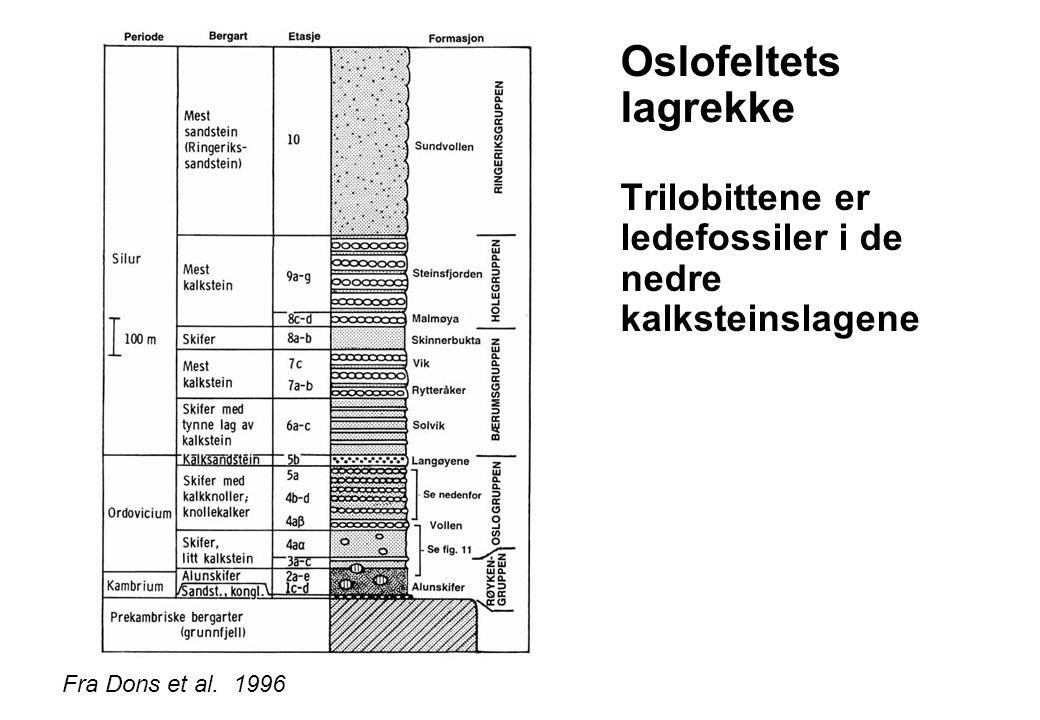 Oslofeltets lagrekke Trilobittene er ledefossiler i de nedre kalksteinslagene Fra Dons et al. 1996