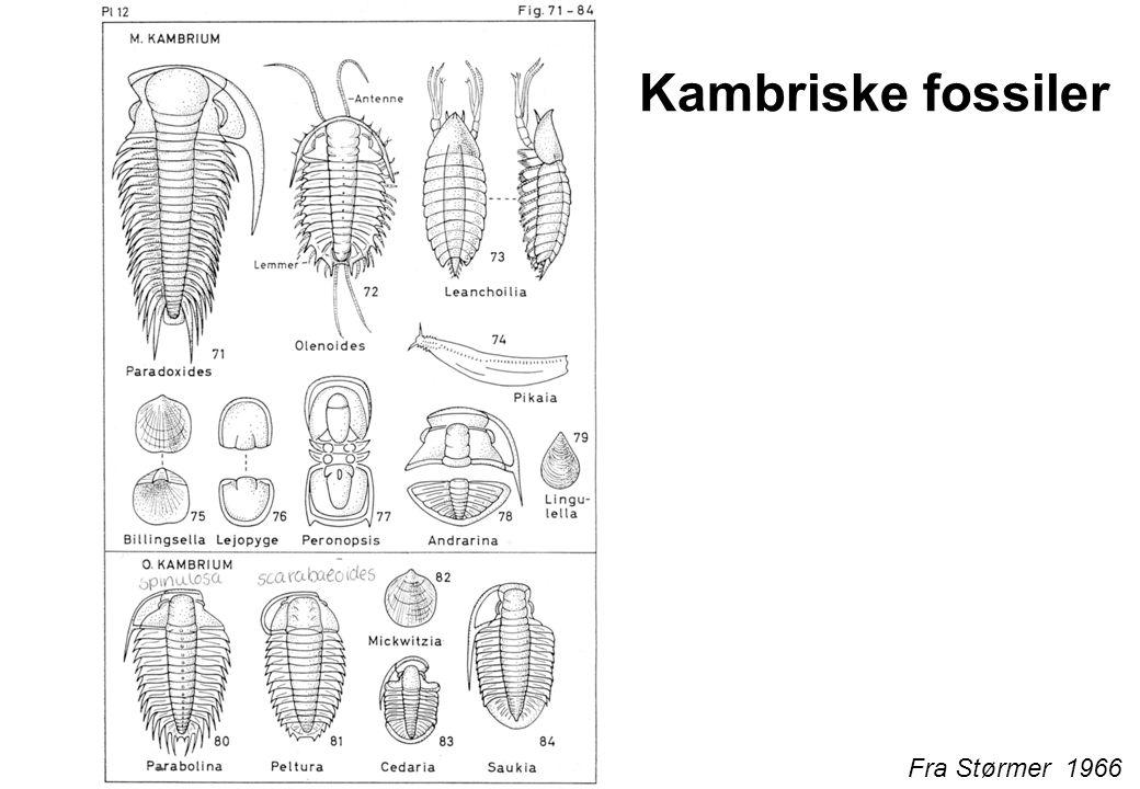 Fra Størmer 1966 Kambriske fossiler