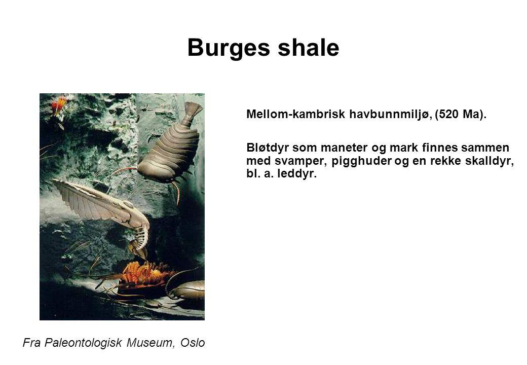 Burges shale Mellom-kambrisk havbunnmiljø, (520 Ma). Bløtdyr som maneter og mark finnes sammen med svamper, pigghuder og en rekke skalldyr, bl. a. led
