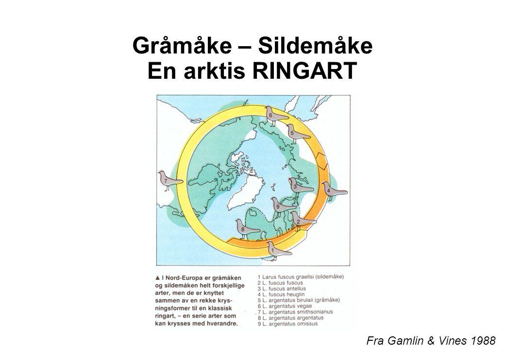 Gråmåke – Sildemåke En arktis RINGART Fra Gamlin & Vines 1988