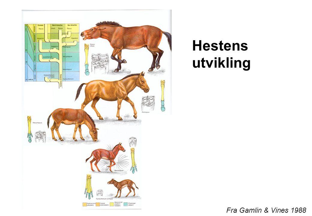 Hestens utvikling Fra Gamlin & Vines 1988