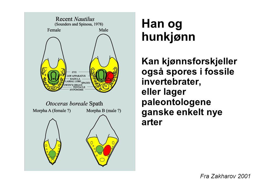 Han og hunkjønn Kan kjønnsforskjeller også spores i fossile invertebrater, eller lager paleontologene ganske enkelt nye arter Fra Zakharov 2001