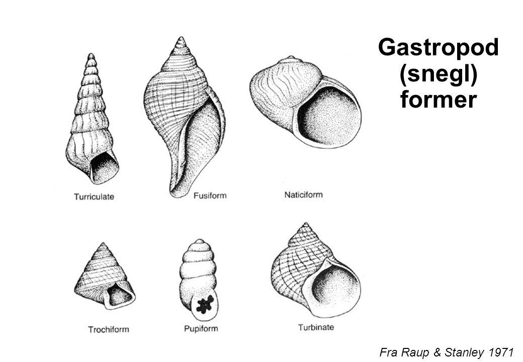 Gastropod (snegl) former Fra Raup & Stanley 1971