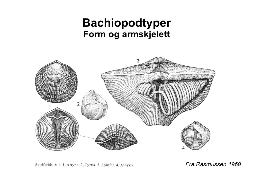 Bachiopodtyper Form og armskjelett Fra Rasmussen 1969