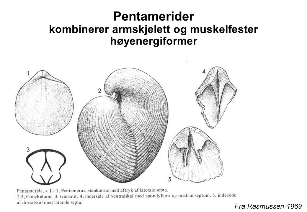 Pentamerider kombinerer armskjelett og muskelfester høyenergiformer Fra Rasmussen 1969