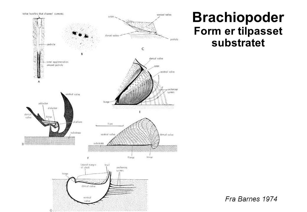 Brachiopoder Form er tilpasset substratet Fra Barnes 1974