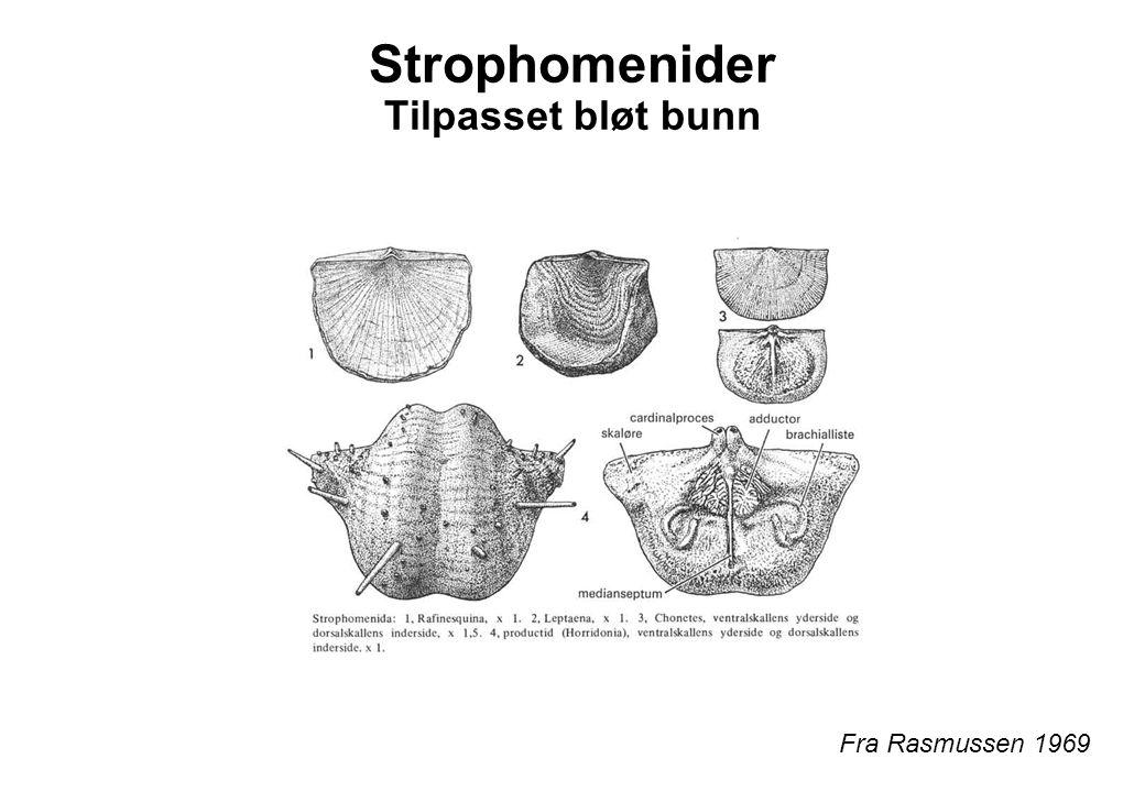 Strophomenider Tilpasset bløt bunn Fra Rasmussen 1969