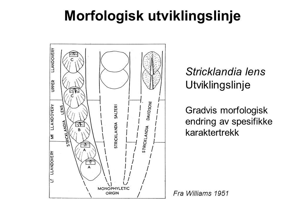 Stricklandia lens Utviklingslinje Gradvis morfologisk endring av spesifikke karaktertrekk Fra Williams 1951 Morfologisk utviklingslinje