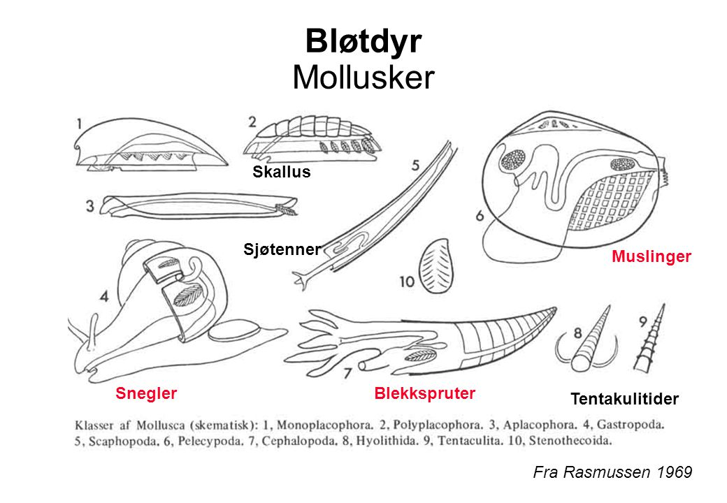 Bløtdyr Mollusker Fra Rasmussen 1969 Skallus Muslinger SneglerBlekkspruter Sjøtenner Tentakulitider