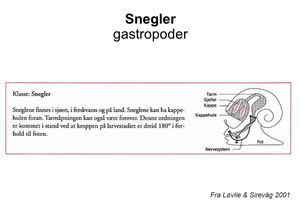 Snegler gastropoder Fra Løvlie & Sirevåg 2001