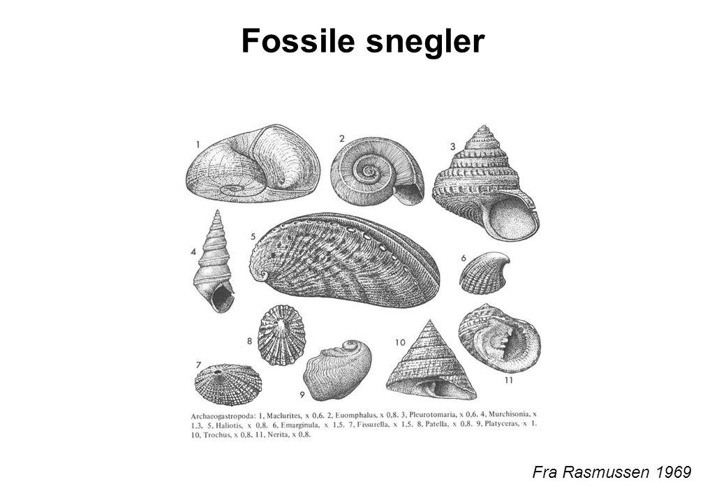 Fossile snegler Fra Rasmussen 1969