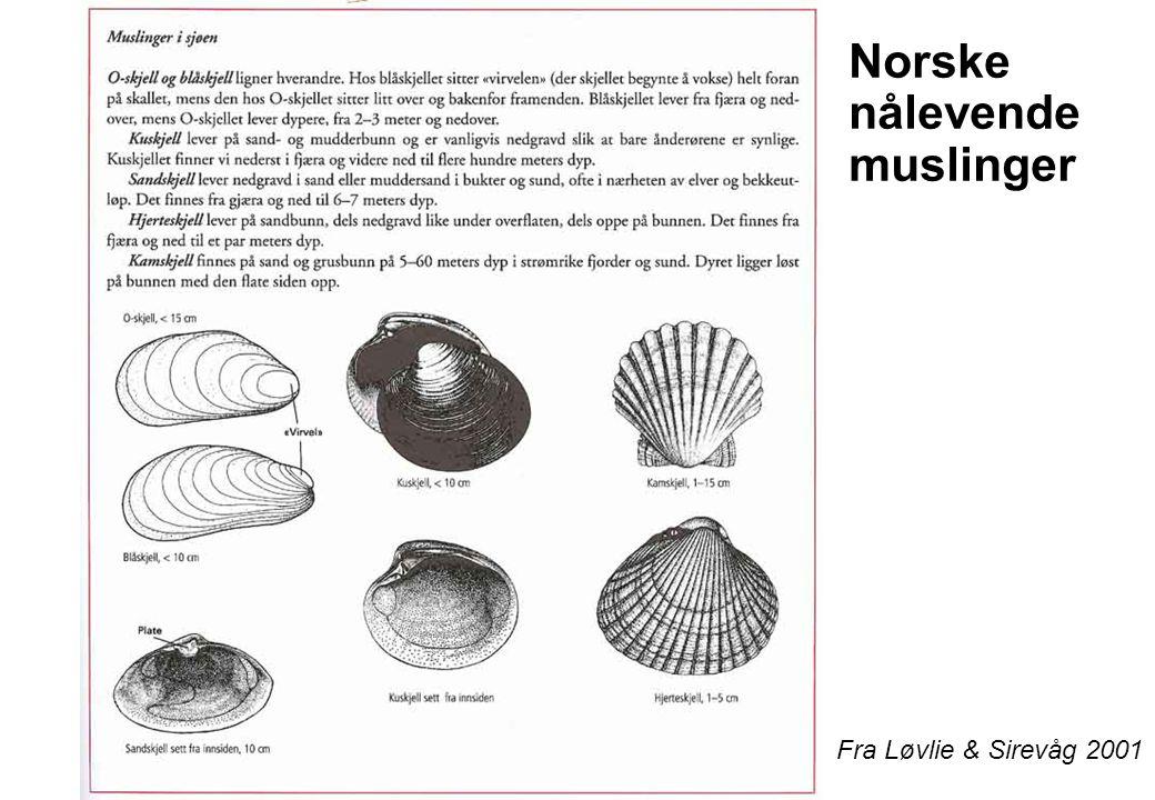 Norske nålevende muslinger Fra Løvlie & Sirevåg 2001