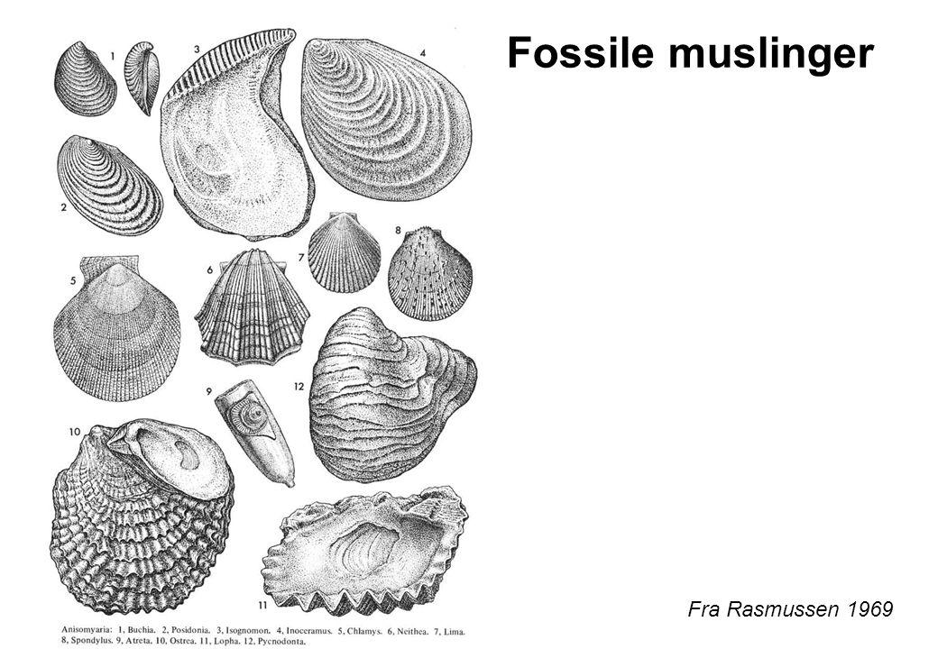 Fossile muslinger Fra Rasmussen 1969