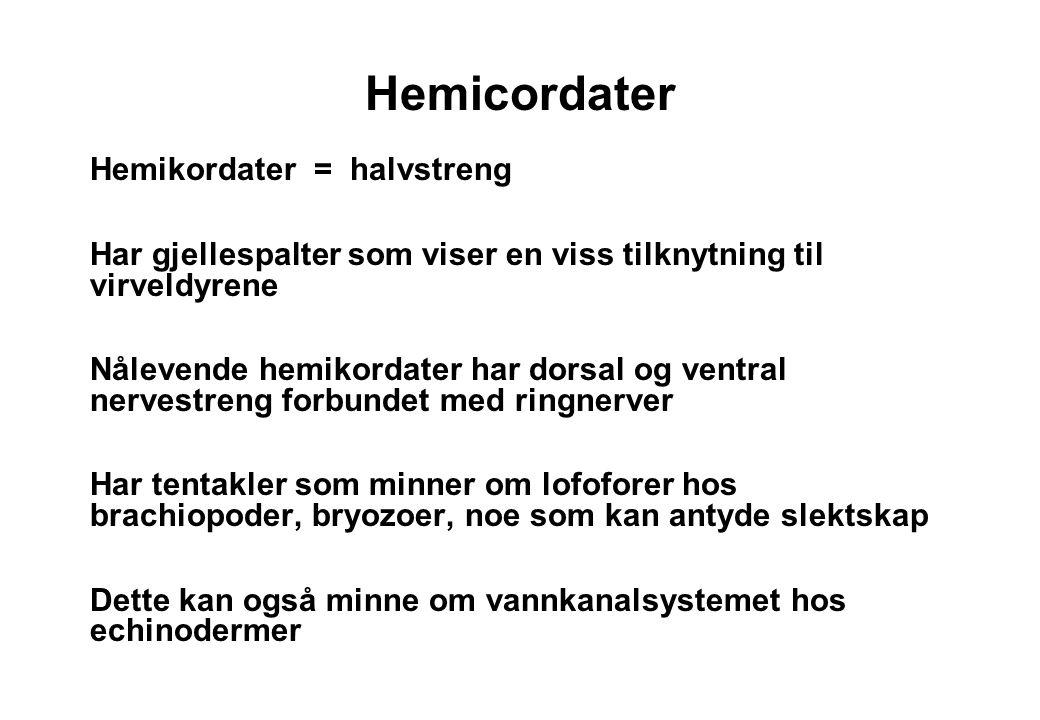 Hemicordater Hemikordater = halvstreng Har gjellespalter som viser en viss tilknytning til virveldyrene Nålevende hemikordater har dorsal og ventral n